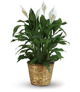 Picture of Simply Elegant Spathiphyllum
