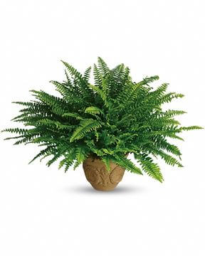 Picture of Heartwarming Thoughts Boston Fern