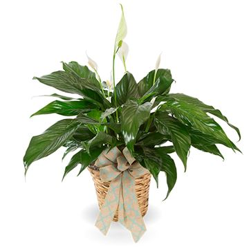 Picture of Peace Lily