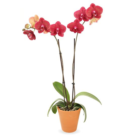 Picture of Phalaenopsis Orchid