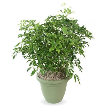Picture of Umbrella Plant