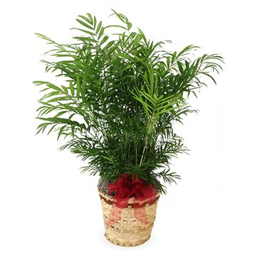Feathery Palm Plant, Large