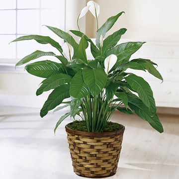 Picture of The Spathiphyllum Plant